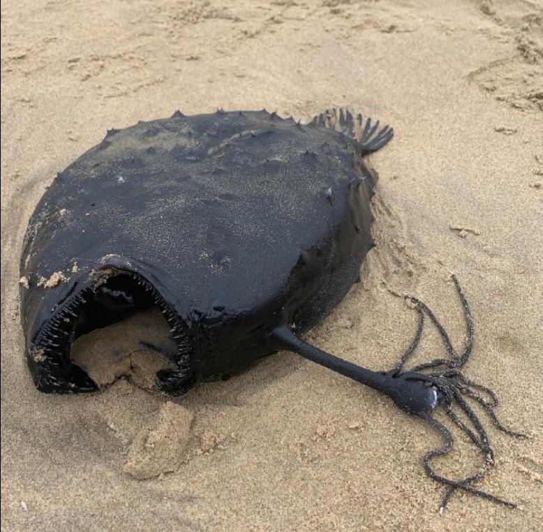 (ФОТО) Чудовиште од длабочините на океанот пронајдено на плажа во Калифорнија