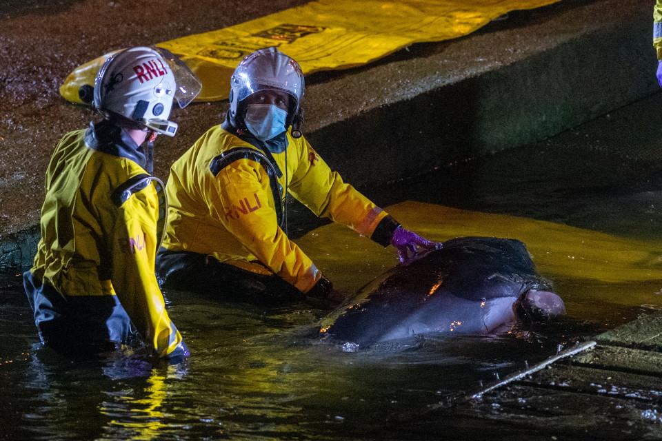 (ВИДЕО) Спасен кит-младенче кој заталкал во Темза во Лондон