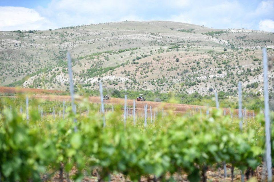 Нови лозови насади на 120 хектари за производство на квалитетни македонски вина