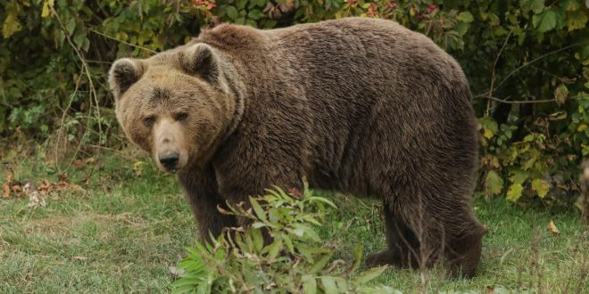 (ВИДЕО) Шарпланинска мечка во трчање во близина на Тетово