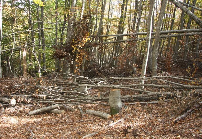 Албанци пустошеле шума во Македонија, лишени од слобода
