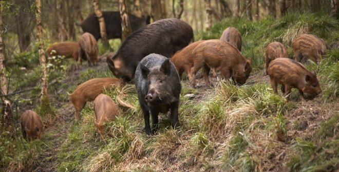 (ВИДЕО) Убава глетка во Катланово: Дваесеттина диви прасиња претрчуваат на патот
