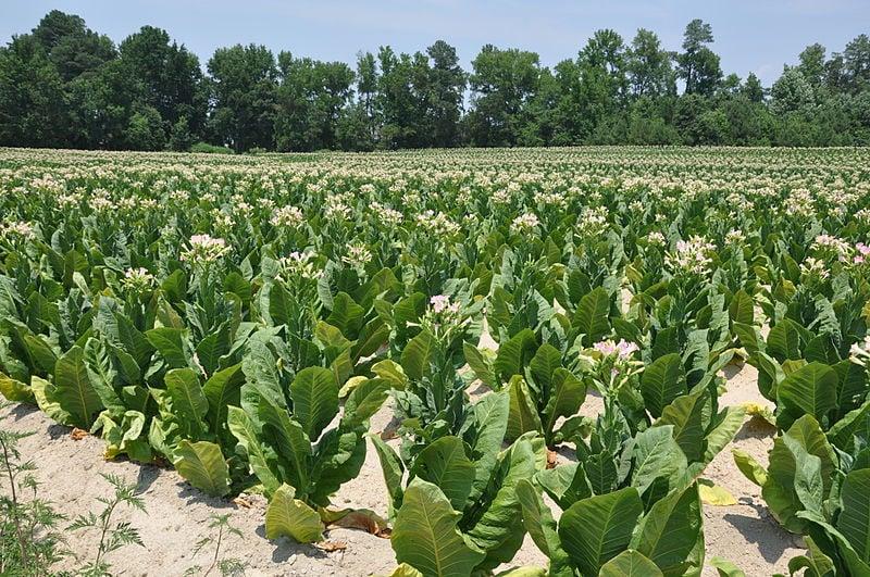 Несигурниот откуп и ниските цени ги намалија тутуновите насади во струмичко