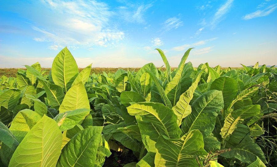 Следната недела ќе почне исплатата на субвенции за тутун