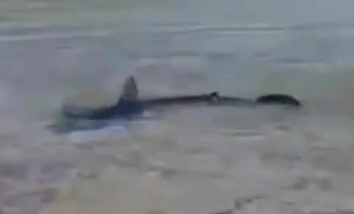 (ВИДЕО) Ајкула долга два метра се појави во плиткото на Корчула