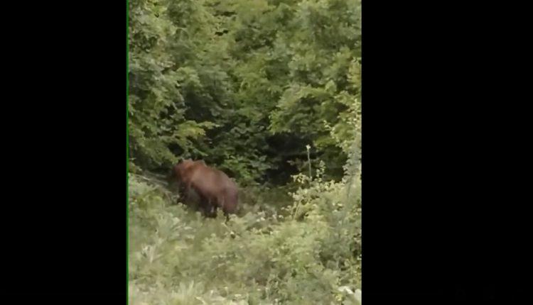 (ВИДЕО) Мечка се спушти над селото Побожје