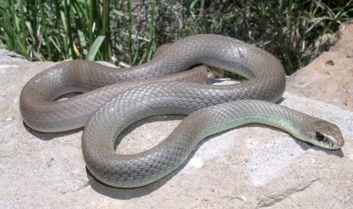 (ВИДЕО) Змија среде центарот на Скопје
