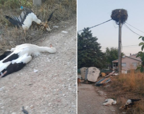 Во скопско Орешани убиени два штрка и фрлени блиску до нивното гнездо