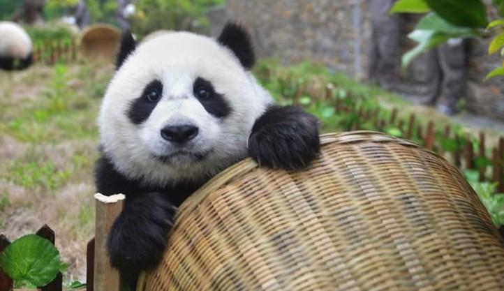 Кина: Џиновските панди повеќе не се на листата на загрозени животни