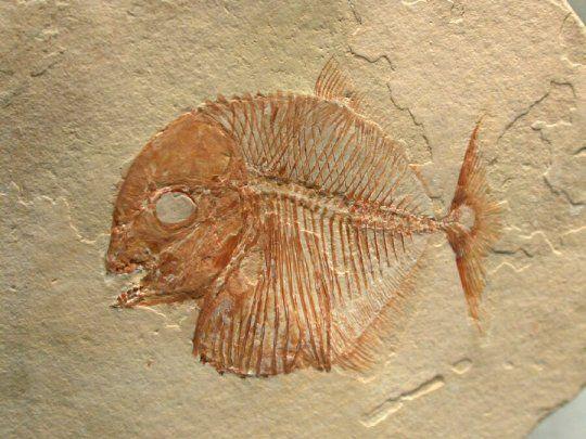(ФОТО) Фосил од риба стар 95 милиони години пронајден во Мексико