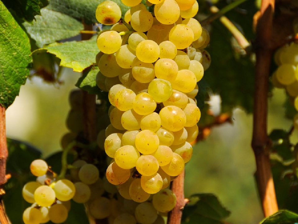 """Корегирани откупните цени за """"смедеревка"""" и за """"вранец"""": Винариите ќе ја надоместат разликата на веќе предаденото грозје"""