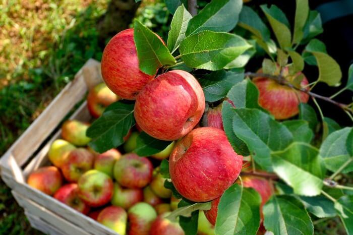 Македонското јаболко ќе се извезува во Украина без царина