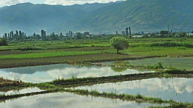 Земјоделците од Кочанско ја почнаа жетвата на оризот